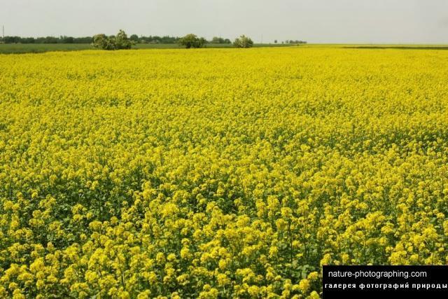 Желтые цветки гречихи фото