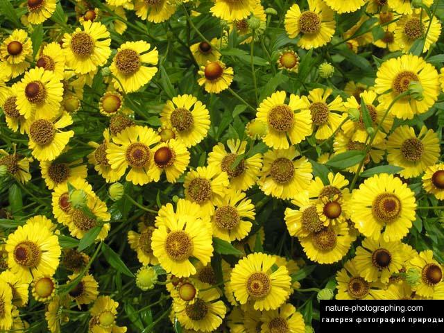 Желтые высокие цветы как ромашки