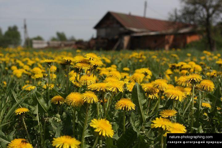 Цветы мужегоны в картинках 6