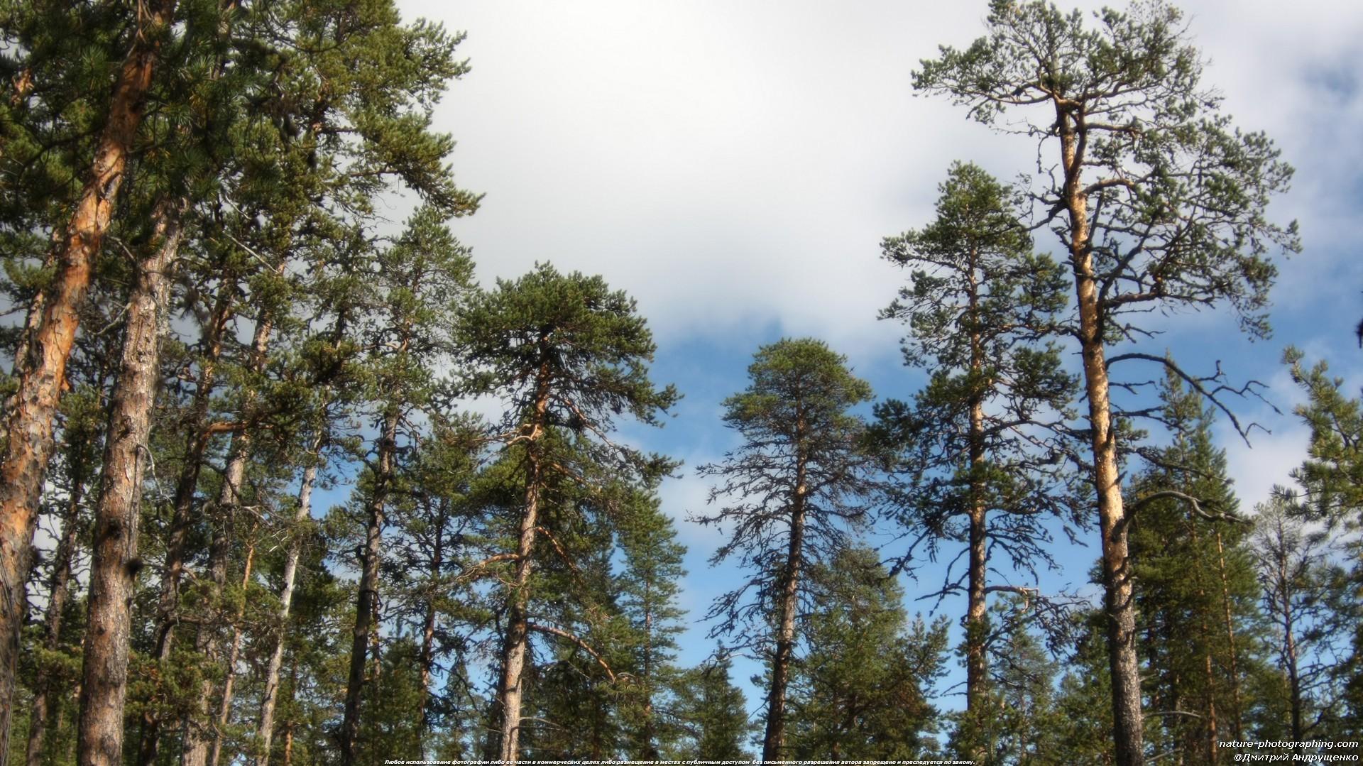 лес кедровый фото