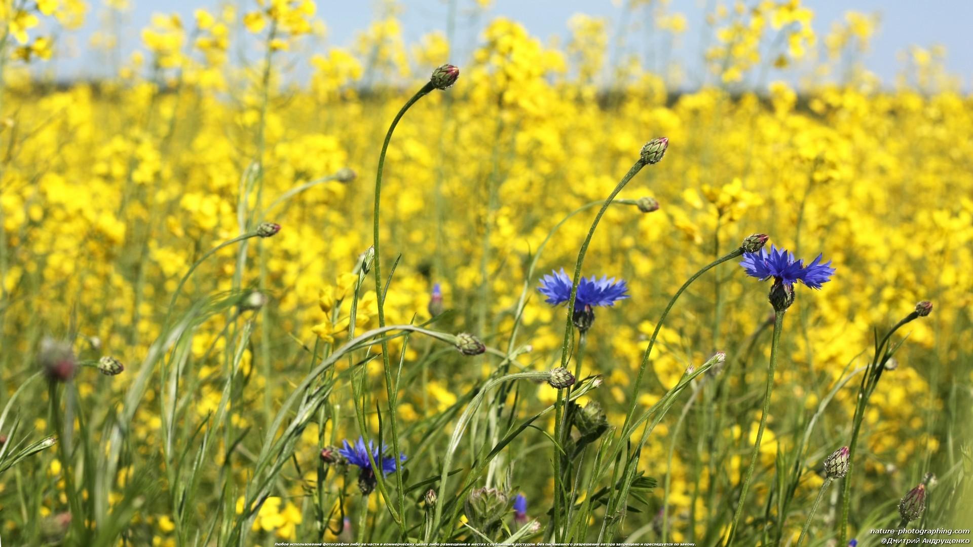 Фото цветы васильки на поле
